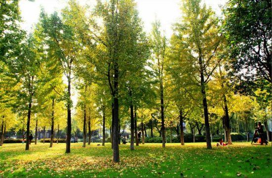 月湖公园的那片银杏林