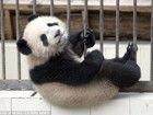 大熊猫越狱未遂高空跌下吵醒小伙伴
