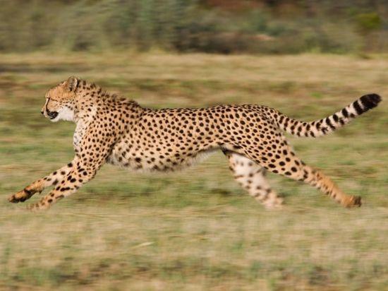 纳米比亚印度豹