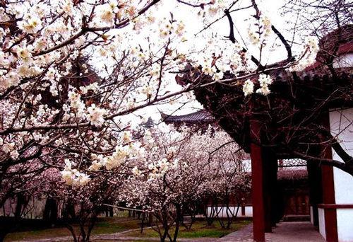 武大樱花源于日本炫耀侵华?