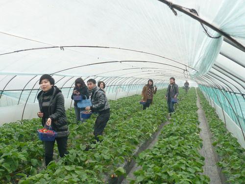 宁波鄞州港城农业示范园摘草莓