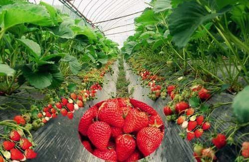 去天宫庄园草莓采摘园