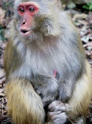 金鞭溪周边也是野猴的天堂