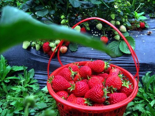 欢乐佳田农场采摘草莓