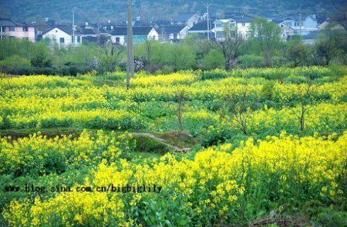 田里的油菜花