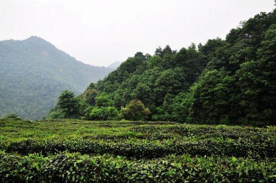 山中有机茶园