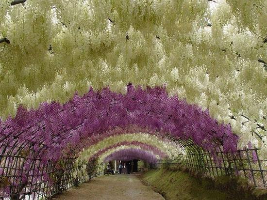 日本的紫藤隧道