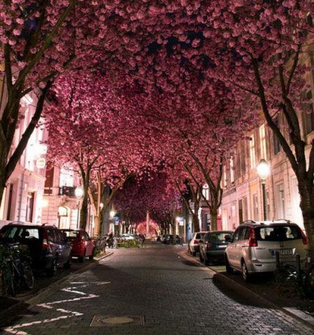 德国波恩的樱花隧道