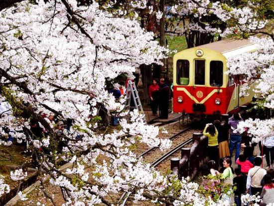阿里山樱花