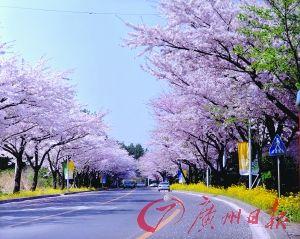 济州樱花大道