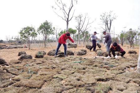 工人们正在铺草皮。