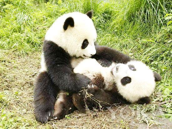 最萌圆滚滚动物园 雅安熊猫基地