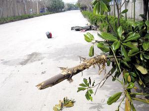 绿化树横斜在路面