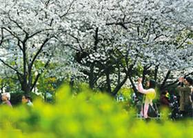 海曙公园,樱花进入盛放期