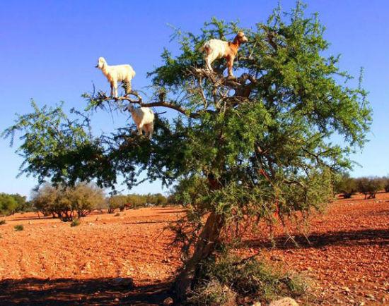 会上树的山羊