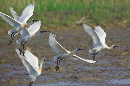 慈溪现全球性濒危物种黑脸琵鹭