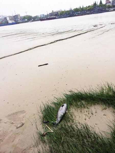 甬江岸边发现的这头江豚长约1米,重30多公斤。  通讯员 崔毅 摄