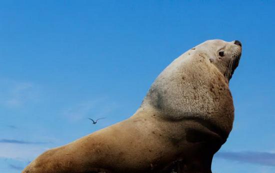 在海的那一边,巨大的雄海狮趴在岩石上。