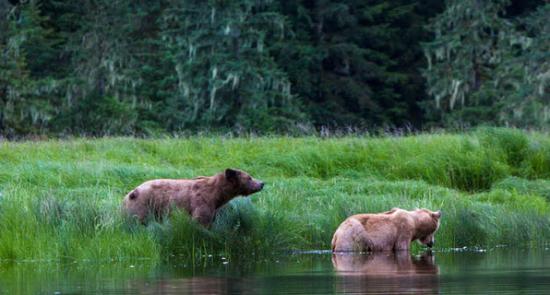 在此处经常能看到正在河岸边休憩的棕熊。