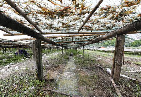 图为石浦番西区块农田变成了晒鱼干作坊。(胡建华 摄)