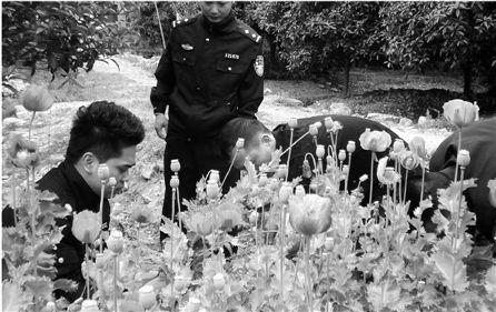 民警在清理罂粟