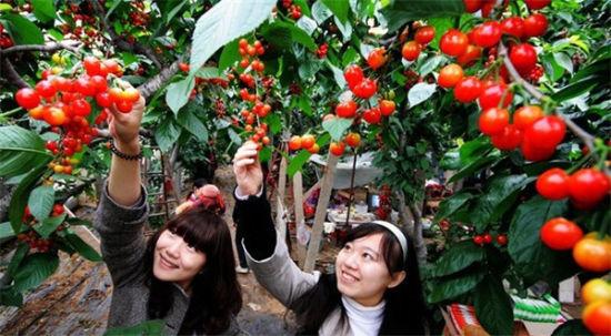樱桃采摘地:杭州果树研究所