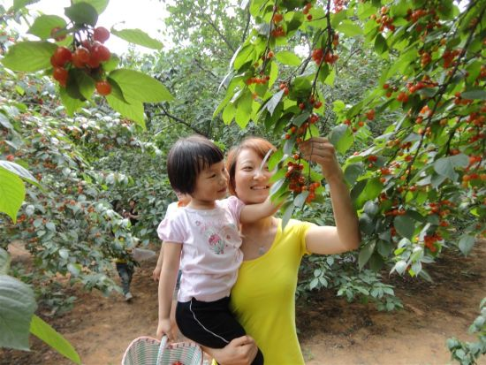樱桃采摘地:杭州野芦湾生态农庄