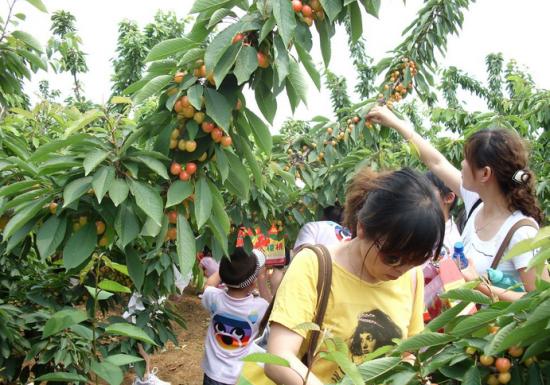 樱桃采摘地:杭州格林森果园