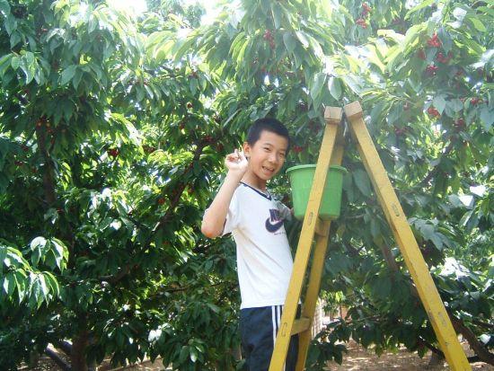 樱桃采摘地:萧山明良樱桃种植基地