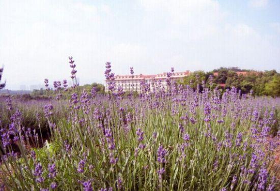 紫色浪漫不出国门省内薰衣草花海赏花地盘点