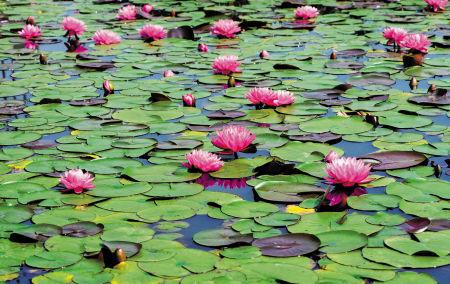 绿岛公园内的睡莲。