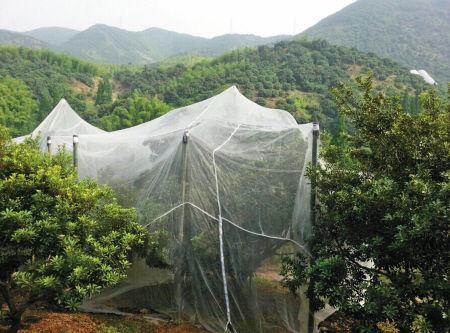 杨梅树挂上了蚊帐。 记者 鲁威 摄