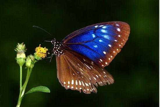 异型紫斑蝶(资料图)