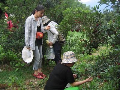 游客在慈溪采摘杨梅。