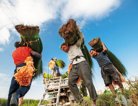 """鄞州区古林镇,来自山东、安徽、贵州等地的""""蔺草客""""在收割蔺草。 通讯员 胡和平 摄"""