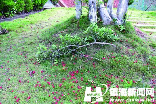 图为散落一地的杨梅。