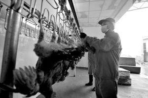 宁波肉禽蛋批发市场,工作人员将活禽挂上自动屠宰流水线。 记者 崔引 摄