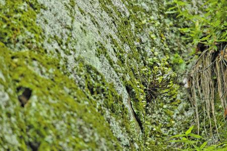 上周,四明山岩壁上的野生铁皮石斛.图片