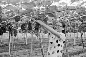 蒋薇薇在大棚里采摘葡萄。