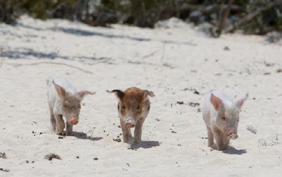 对于猪来说这真是一个完美的可以使它们整天懒散地躺着的环境.