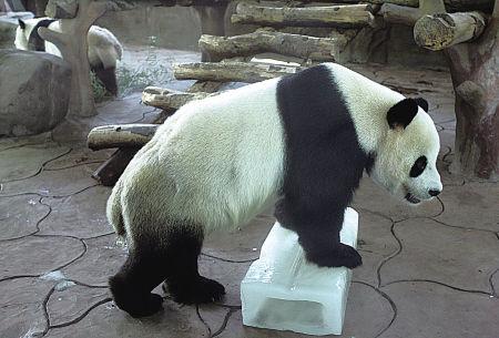 在27℃的恒温馆里,大熊猫正在和冰块玩耍。(胡建华 摄)