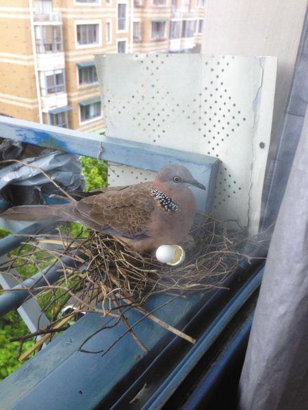 斑鸠在窗台上安家。 傅先生供图