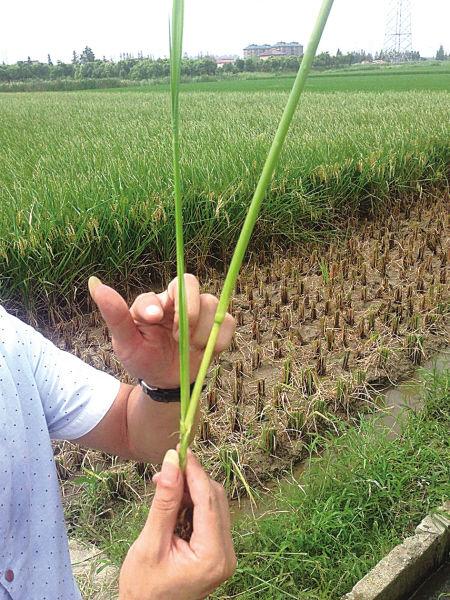 推广人员展示抽出的稻叶。(孙吉晶 摄)
