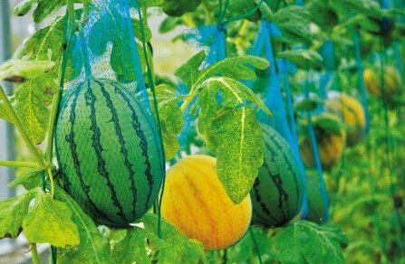 一根南瓜藤上结出两种颜色的西瓜。
