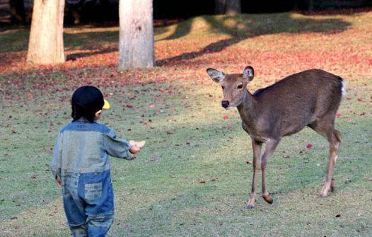 奈良公园里有很多贩卖鹿仙贝的小摊,这种圆圆的薄饼是小鹿们的最爱,它们会乖乖地站在小摊前,用水汪汪的大眼睛深情地望着你,一直看到你掏钱买下来喂它们为止。   怎么去:一般会从京都前往奈良,乘坐近铁京都线急行到近铁奈良站,或JR奈良线至奈良站,50分钟左右就能到。 [上一页] [1] [2] [3] [4] [5] [6]