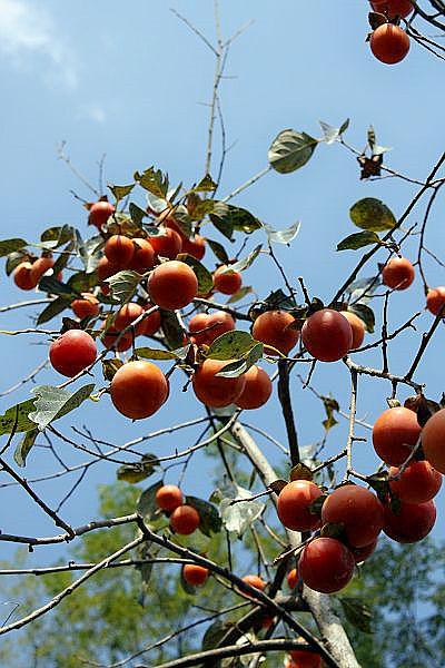 银杏树上长满了银杏
