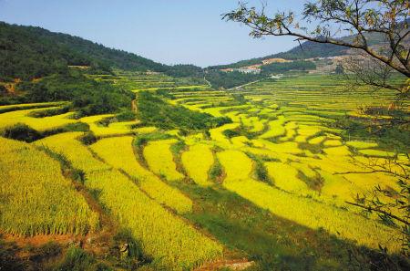 奉化溪口高山梯田水稻丰收在望