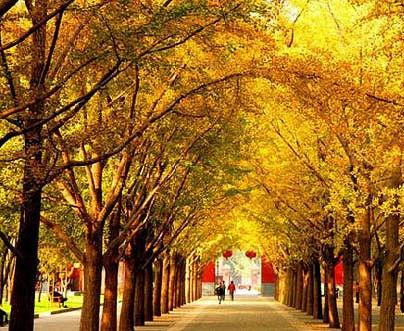 地坛公园的银杏大道