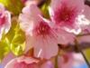 韩国庆州樱花节