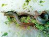 台湾鳗鳅试养成功